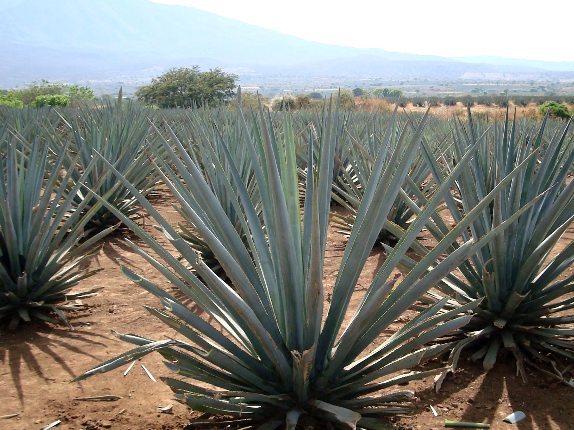 Mitä se tequila onkaan… – kaktusviinaa?